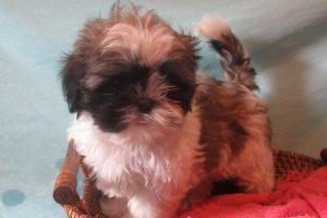 Puppies For Sale – The Village Pet Shop
